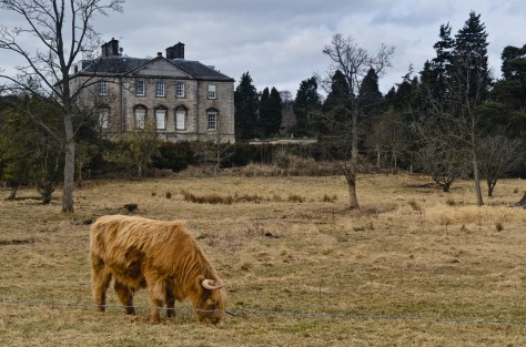 Mortonhall House and Highland Cattle (1 of 1)